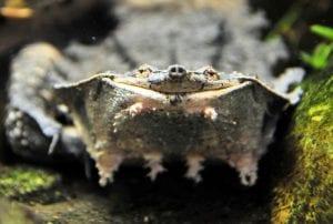 Mata mata turtle, image by Joachim S. Muller