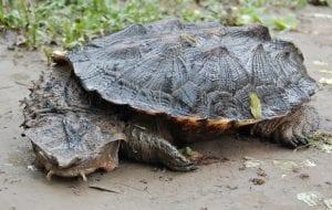 Mata mata turtle, image by Colleen