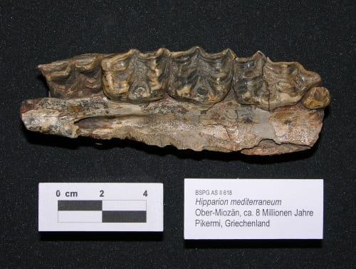 Hipparion mediterraneum palate fossil BSPG AS-II 618. Image courtesy of I. Giaourtsakis 2018.