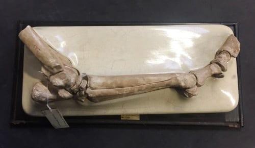 LDUCZ-Z2733 Hipparion bradypus. Cast