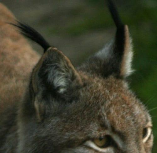 Specimen Of The Week 356  Lynx Skull