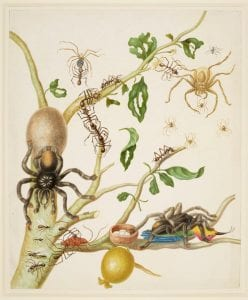 Illustration of spiders and ants showing two Avicularia tarantulas. Maria Sibylla Merian, 1705.