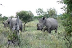 A 'crash' of white rhinos Ceratotherium simum by Chris Eason CC-BY 2.0