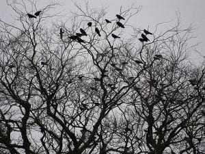 A parliament of rooks Corvus frugilegus by Pauline Eccles CC SA 2.0