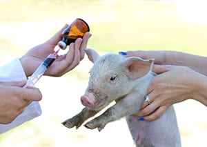 Veterinary injection(c) Jevtic