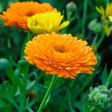 Calendula-officinalis-Pot-Marigold