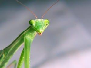 preying mantis (c) istockphoto pernter