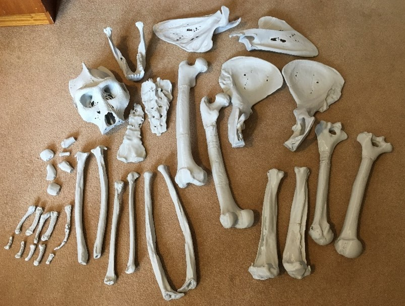 A collection of bones laid out next to each other