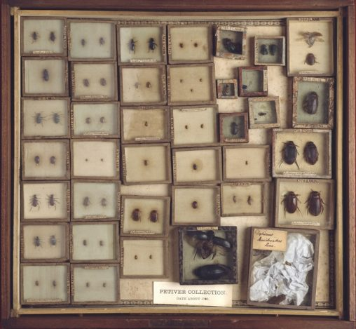 Case containing beetles from the Joseph Dandridge and Petiver collections