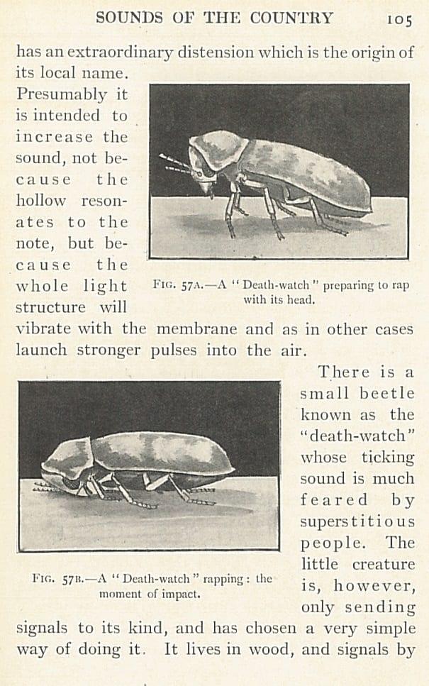 Bragg beetle