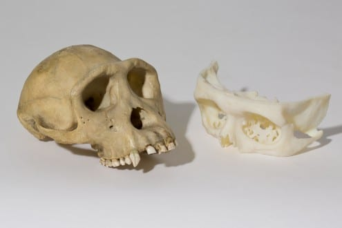 Old school meets new tech: a chimp skull from UCL's zoological teaching collections next to a high-tech 3D print from UCL Medical Physics.
