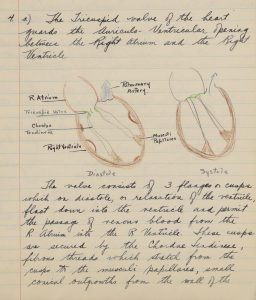 image of a handwritten answer to question on the tricuspid valve with drawing in colour pencil
