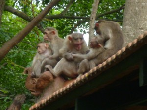I'm never quite sure how much the monkeys learn whilst hanging out around the classrooms of The Valley School