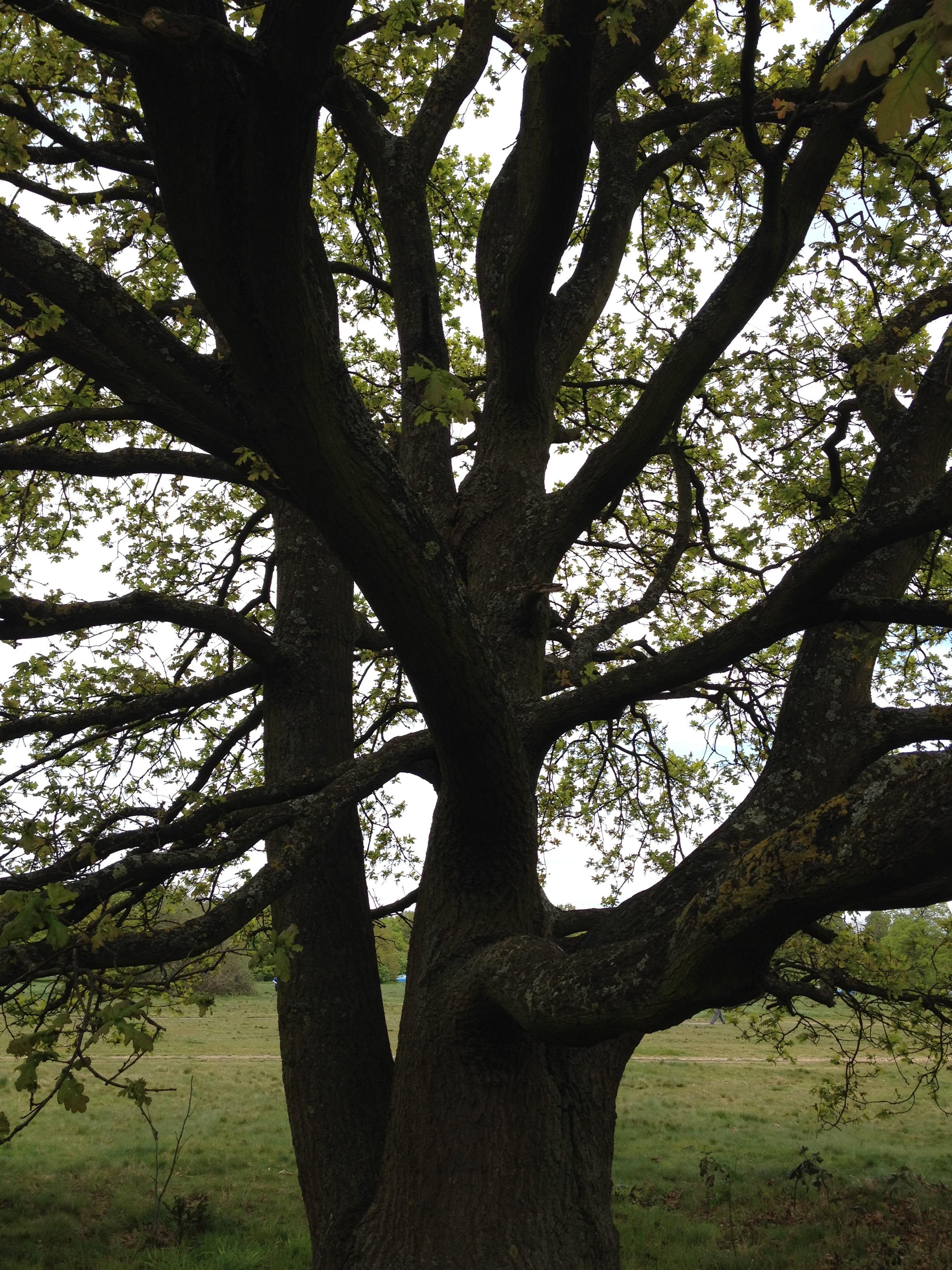 oak tree on Wimbledon Common3 25-4-14