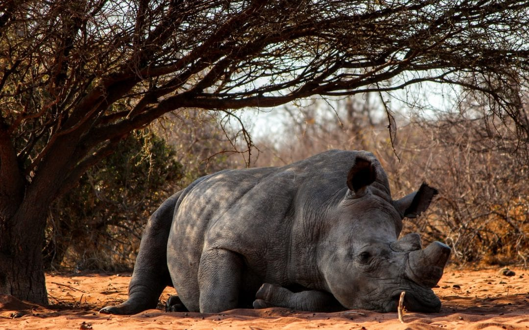 Could China be responsible for rhino extinction?