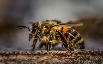 The Apian question: Are bee numbers still dropping?