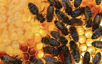 Protecting black bees in the south-west