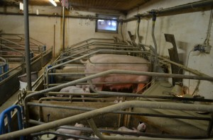 Individual crate where pregnant sows were kept during pregnancy before the EU ban. Photo: Marie-Josee Kelly