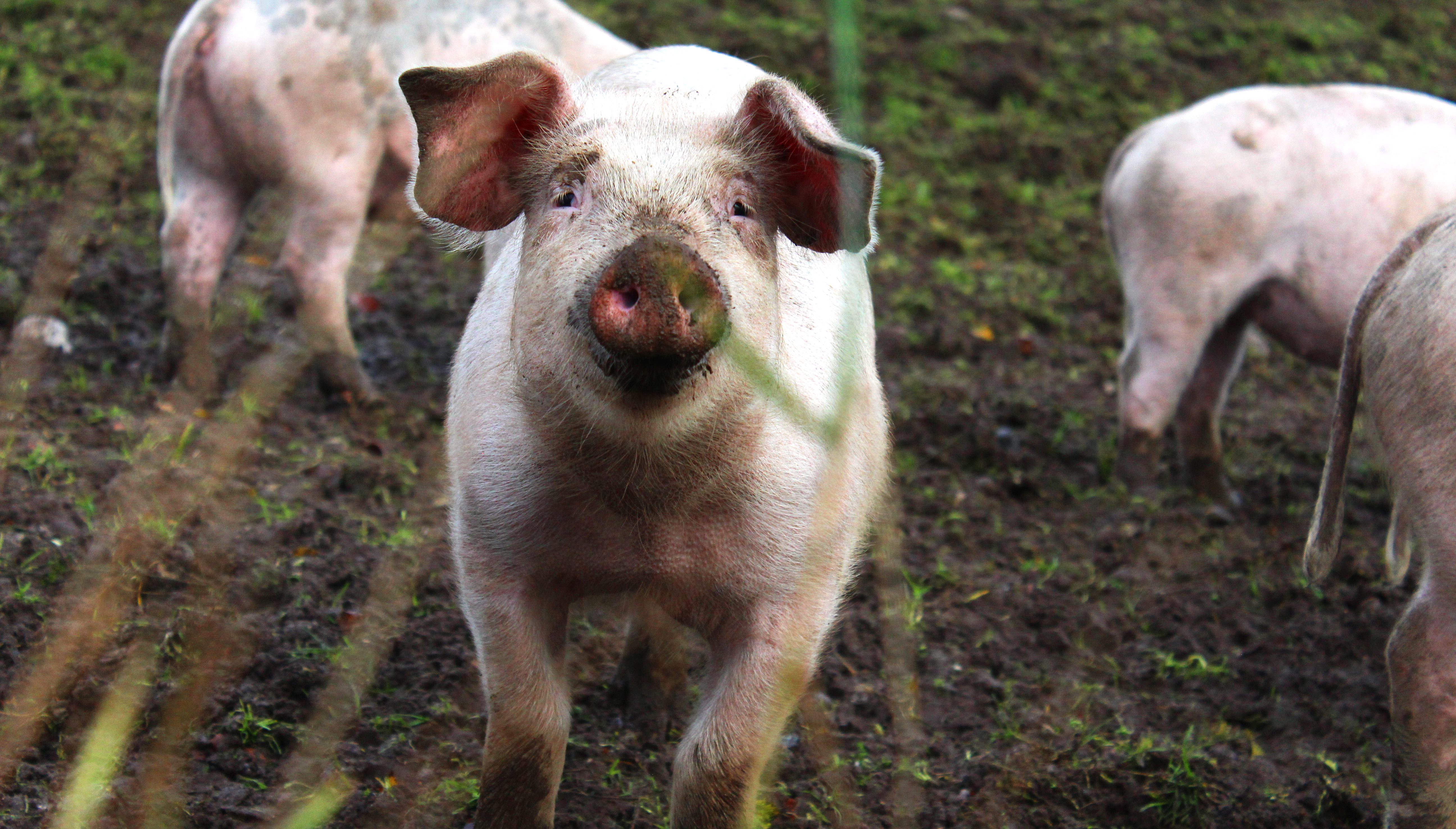 In Denmark Happy Pigs And Cows Live On Fields And In